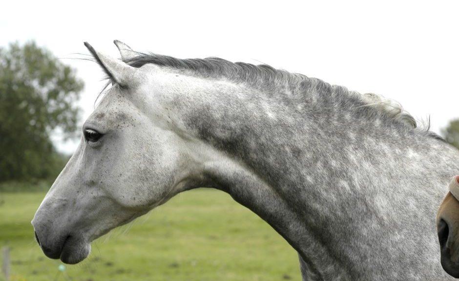 Pferd Stute von Hengst Calato
