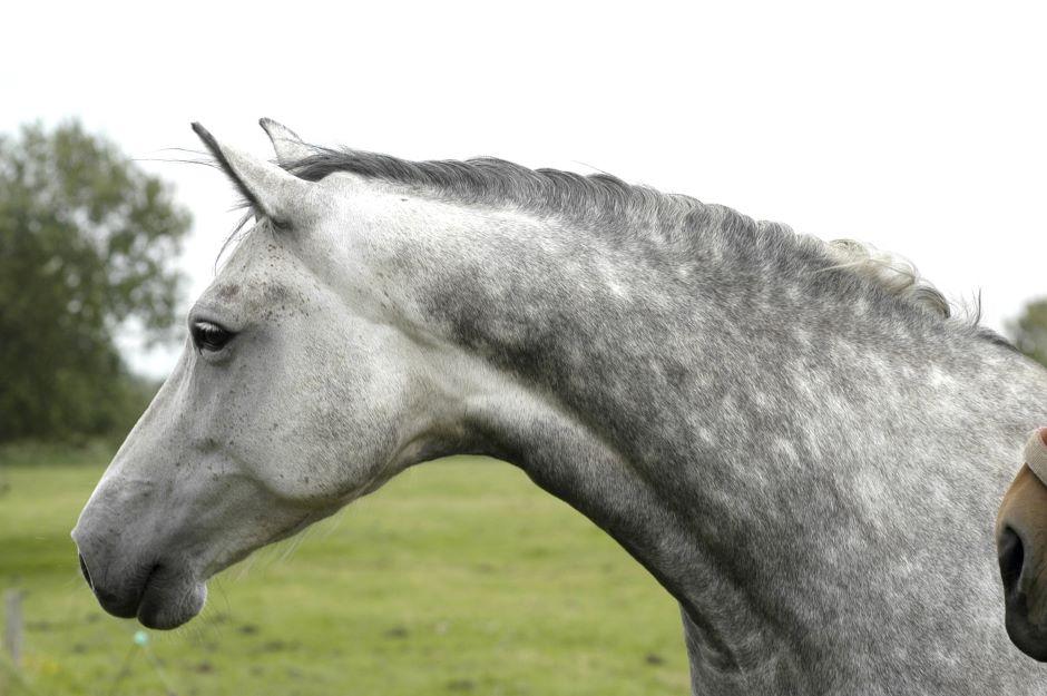 Holsteiner Pferdezucht Stute von Hengst Calato