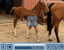 RTLregional.de_-_Video_-_Fohlen_veredelt_1280847840511