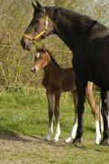 Pferd Stute von Hengst Cor de la Bryere